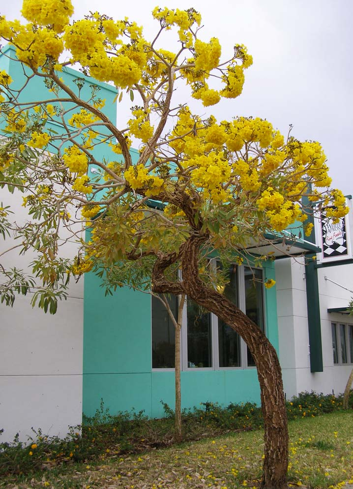 Yellow flowering trees in florida choice image flower decoration ideas yellow flowering trees in florida choice image flower decoration ideas yellow flowering trees in florida choice mightylinksfo